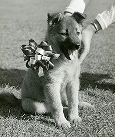 Black and white photo of a German shepherd puppy
